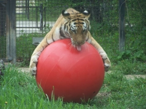 Kendra the tiger loves her new red planet ball