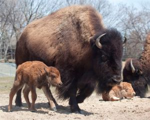 New bison calves