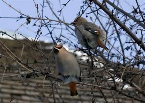 Waxwings outside the Tropical House in December