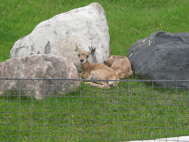 Newborn Pronghorns