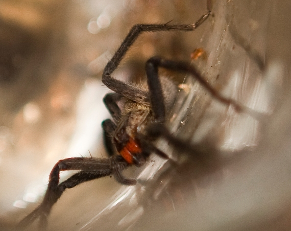 Red-fanged spider