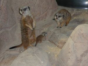 First baby meerkat at the Assiniboine Park Zoo since 1989