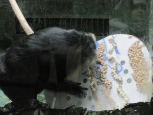 Macaque with large treat board